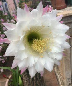 IMG 4004 252x300 Tonys flowers // I fiori di Tony